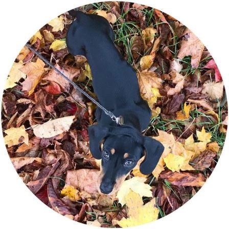 I love autumn! autumn dog dogs dachshundpuppy dachshund dachs dachshundsofinstagramhellip